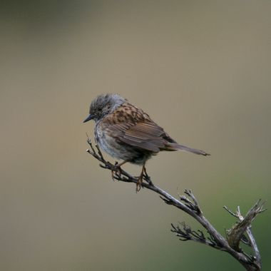 Hedge Sparrow