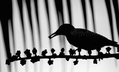 Monochrome Woodpecker