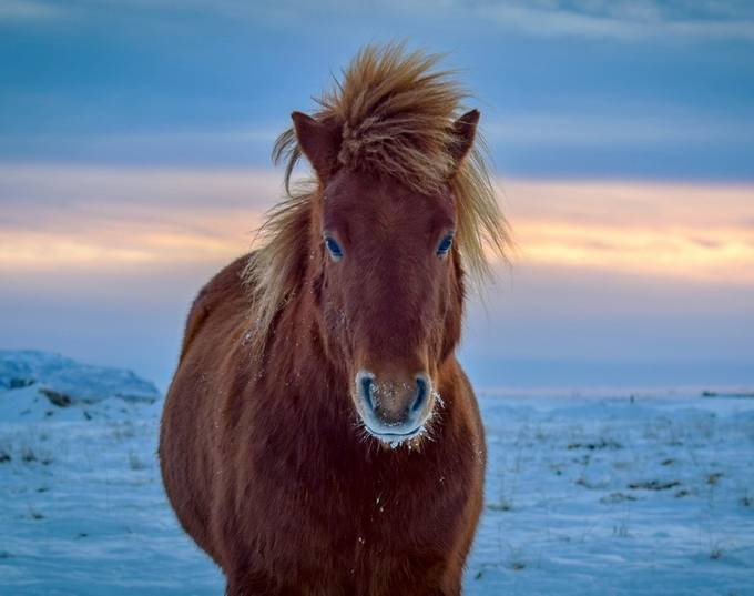 The sun splits the sky in Iceland behind a Iclandic horse by LD23PHOTOGRAPHY - Farms And Barns Animals Photo Contest