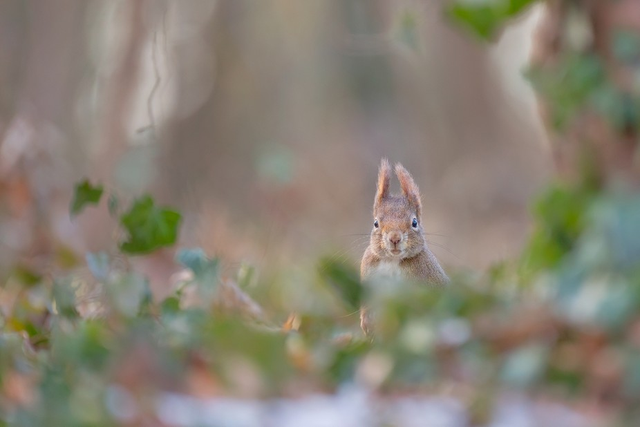 A wild red squirrels has noticed me - I just love its expression :). More on https://facebook.com...