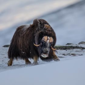 Musk Ox, Hjerkinn, Norway, 29 November 2017.