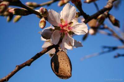 Almond in bloom (Mallorca) #1