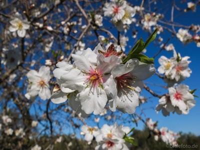 Almond in bloom (Mallorca) #2