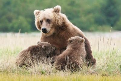 Alaska Brown Bear Nursing: Katmai, Alaska
