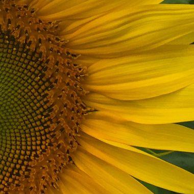 Sunflower, field near Niagara Falls