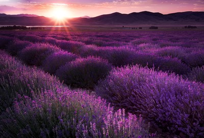 Lavender_Fields-ElleStaples