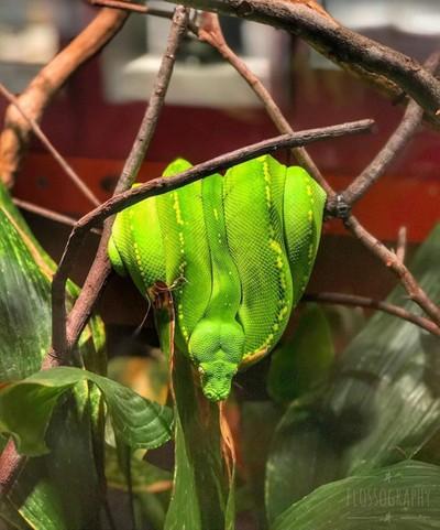Green tree snake in the #queenslandmuseum ... yes it's alive! #snake #snakesofinstagram #greentreesnake #colourgreen #colourpop #Hey_ihadtosnapthat #globalphotofest #australiagram #focusaustralia #ig_discover_australia #australia_shotz #ig_down_under #ig_
