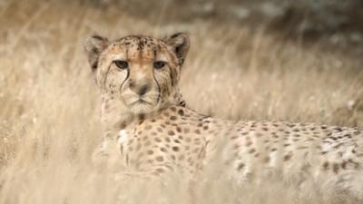 Cheetah observation