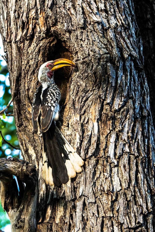 Hornbill Nest Feeding