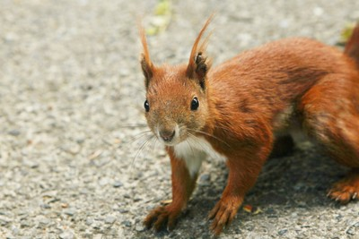 Red Squirrel - Berlin, Germany