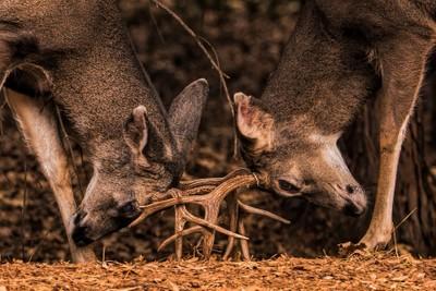 Dueling Deer . . .