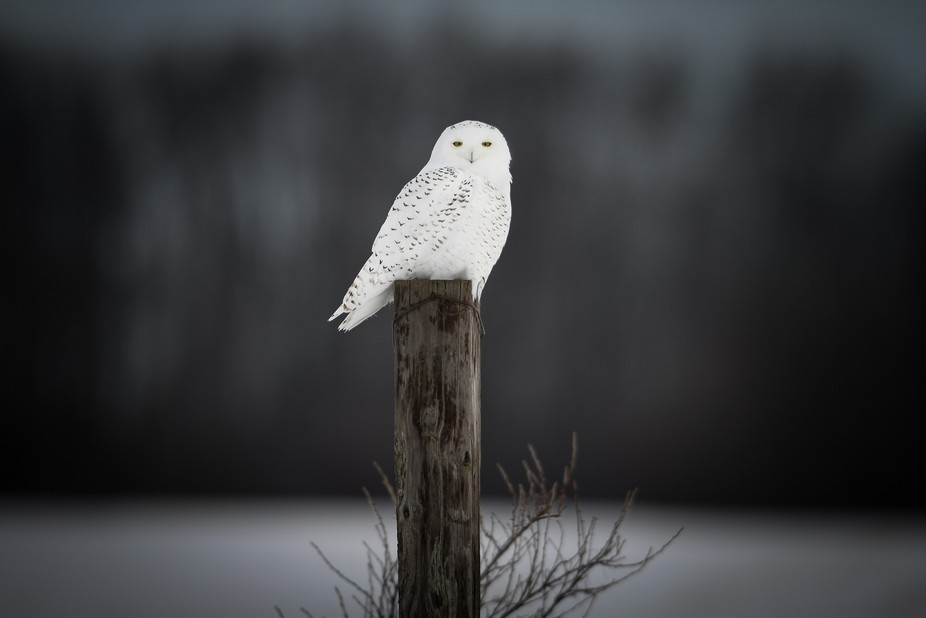 My first encounter this season with a snowy owl a few weeks back.