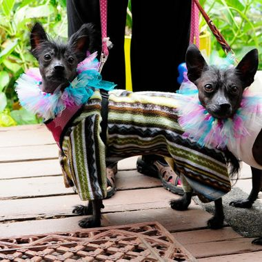 Are these really dogs?  Seen at a belly dancing festival at Painted Lady Lavender Farms, Ilwaco, WA.