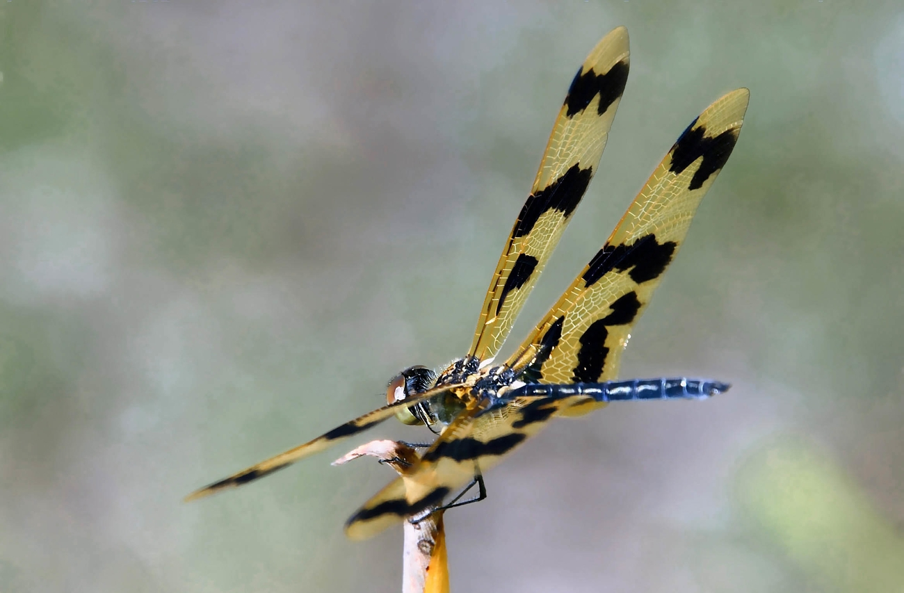 Dragon Fly (7)