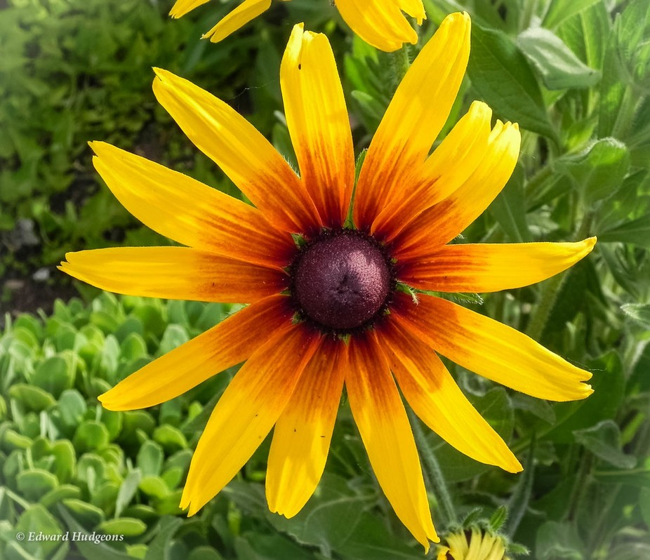 Right or wrong, we used to call these Black-eyed Susans.