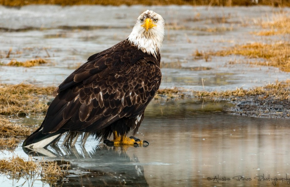 This bald eagle had gotten into some mud before I found him, he looked pretty annoyed the whole time I was shooting him.