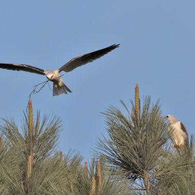The male (left) bringing nest building materials back to the nest site under the supervision of the female (right)