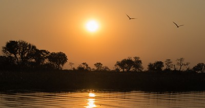 African Skimmers flying off into the sunset in the Okavango Delta.