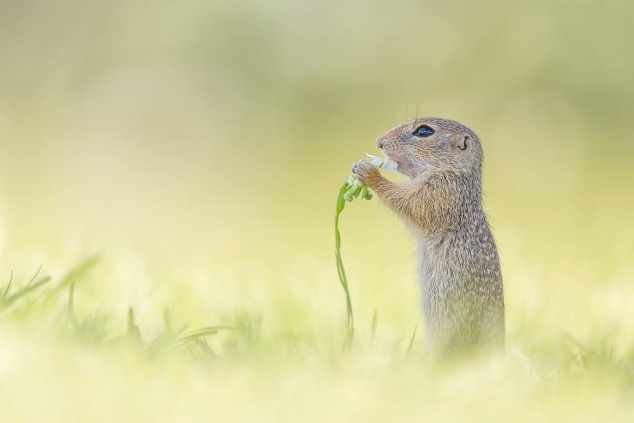 A wild European ground squirrel baby [Spermophilus] getting a flower for breakfast. More on https...