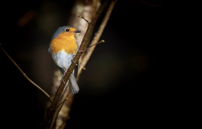 Robin in Tyrolean forest.