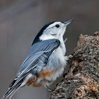White-breasted Nuthatch in the wind