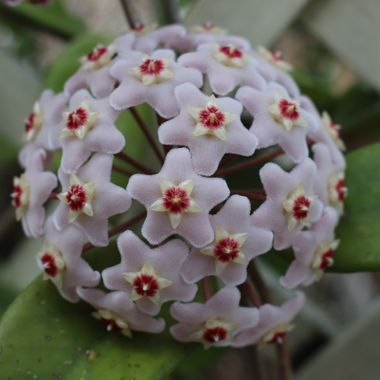 Hoya/wax plant flower