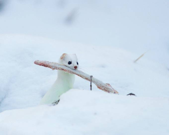 A Bone to Pick by ladyvet - Winter Wildlife Photo Contest