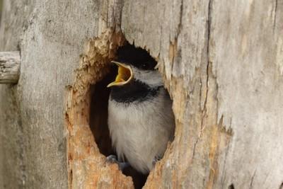fledgling chickadee