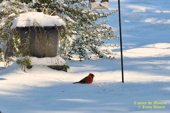 Cardinal in the Snow 3
