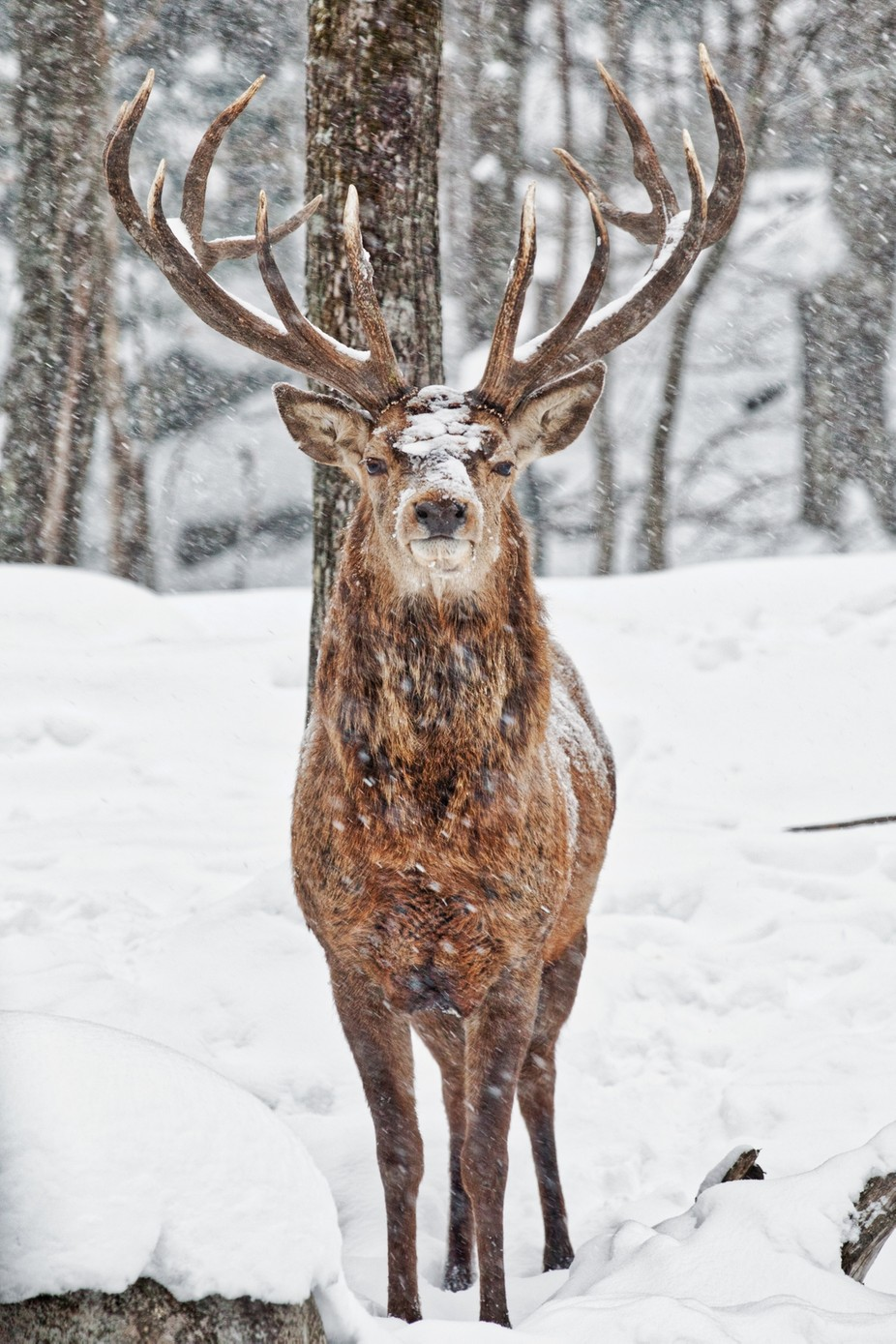 Red Deer in snow_7 by JacquesH60 - Image Of The Month Photo Contest Vol 29