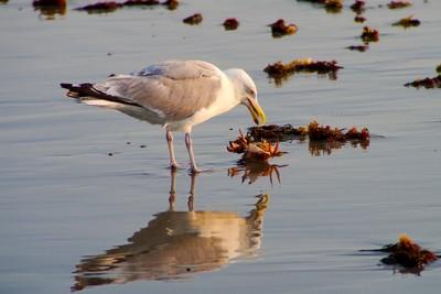 Seagull's Crab Dinner 1