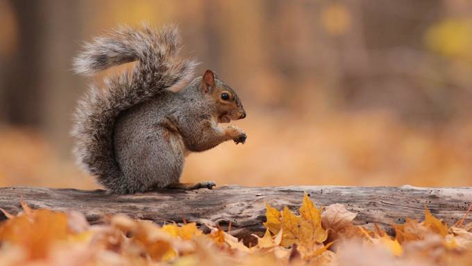 squirrel on log by RGeoffrey - The Brown Color Photo Contest
