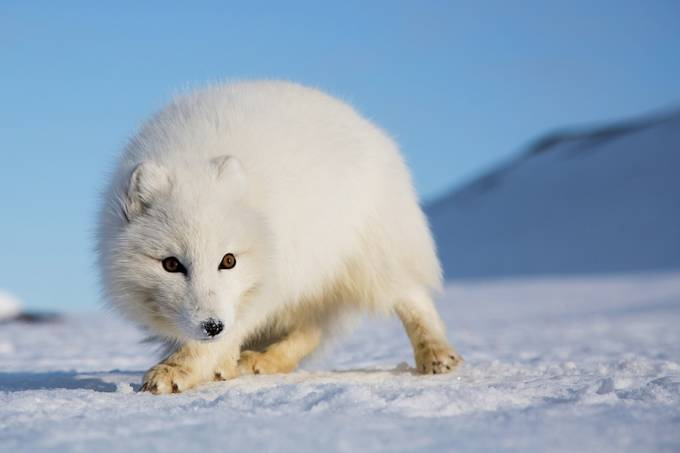 Arctic fox, Norway by davidford - Animals In The Winter Photo Contest