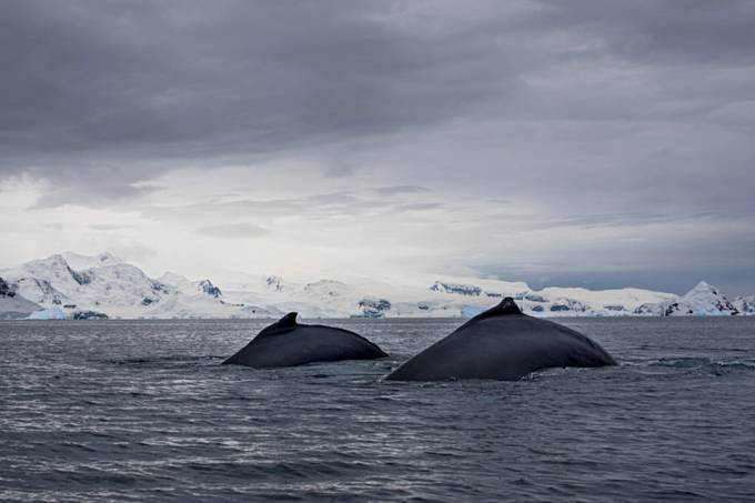 Humpback whales in Antarctica by HeleneS - Big Mammals Photo Contest