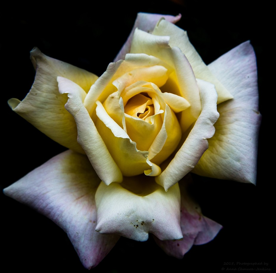I am simply fascinated with the simplicity of this beautiful flower. It is simple, but beautiful....