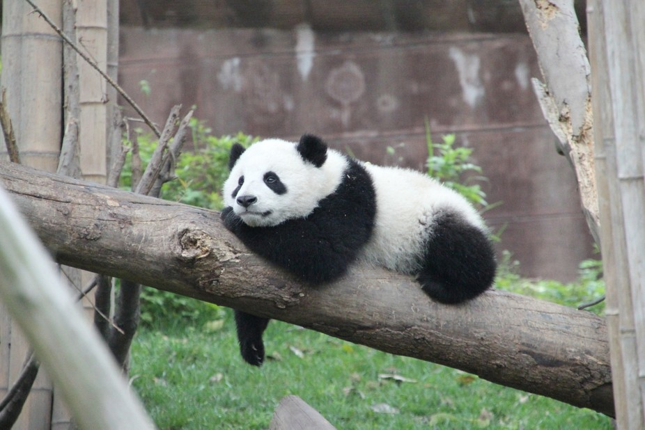 Panda enjoying a rest in Chengdu, China