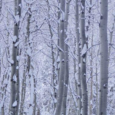Snowy Aspens