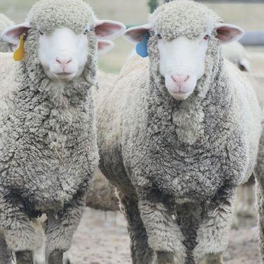 A Sheep Stare