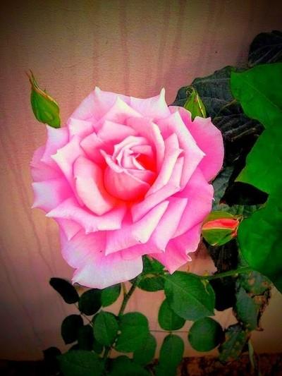 Sonia Rose
