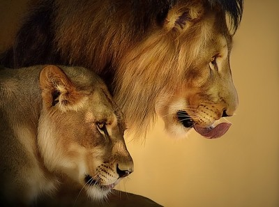 Lion Duo - Defender