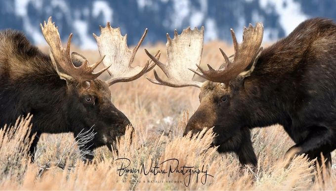 Bull moose  by BrowerNaturePhotography - Big Mammals Photo Contest