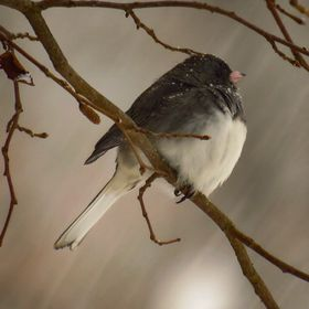 Dark-eyed Junco during a snowstorm