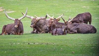 Watusi buffalo