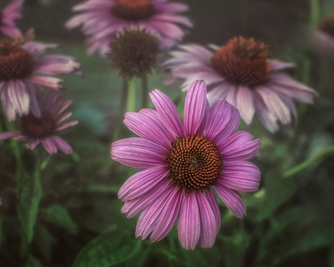 ConeFlower by dianadowhower - Pastel Colors Photo Contest