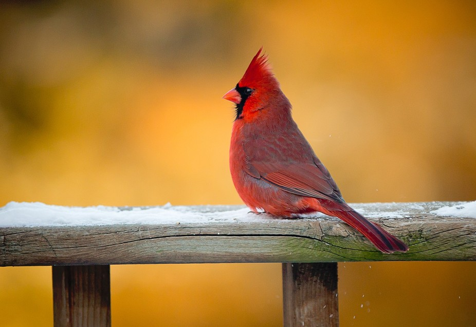 Golden Hour Cardinal