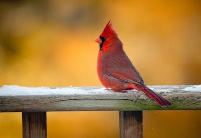 Golden Hour Cardinal