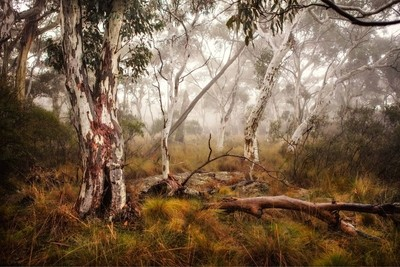 The Australian bush. Ghost gums rise out of the mist on top of a cloud soaked mountain.