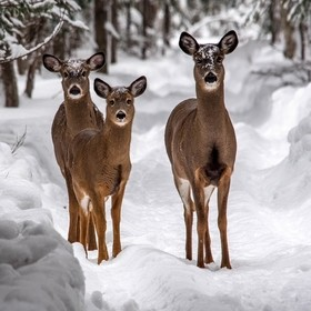 A family of white tailed deer give me the eye as we jockey for right of way on a woodland trail.