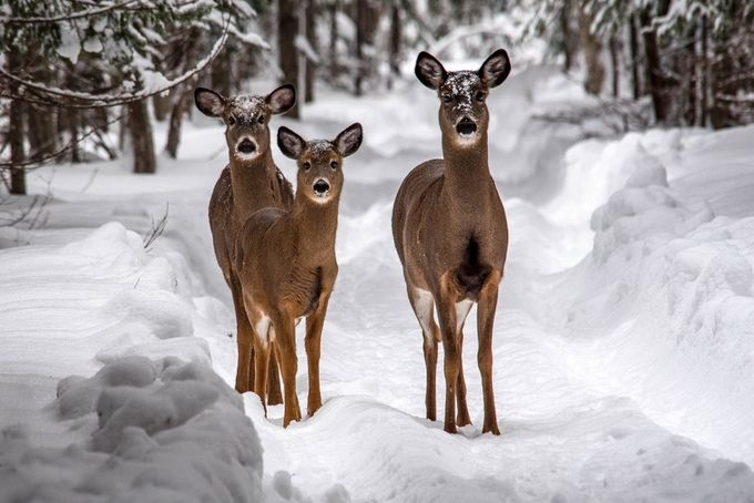 Deer, Deer, Deer by CRamsay - Social Exposure Photo Contest Vol 13