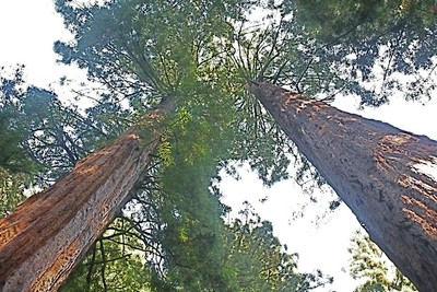 gaint redwoods at Muir Woods National Monument